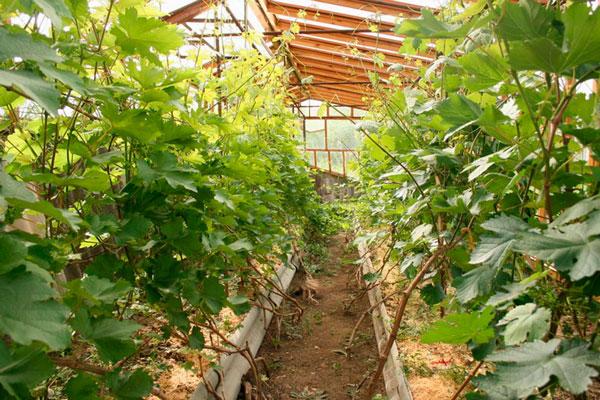 Выращивание винограда в теплицах