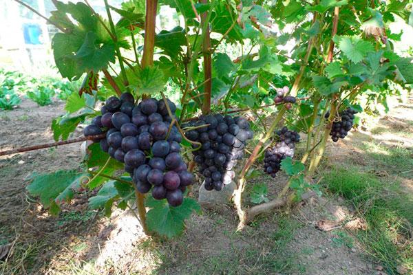Как выбрать сорта винограда