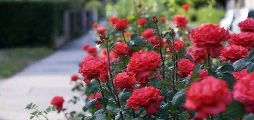 Бизнес-план по выращиванию роз в теплицах